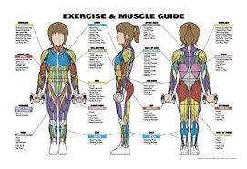 Amazon Com Exercise And Muscle Guide Female Fitness