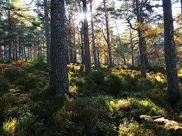 Black Wood of Rannoch