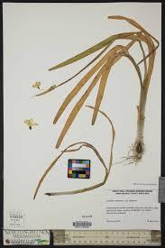 SEINet Portal Network - Leucojum aestivum subsp. aestivum