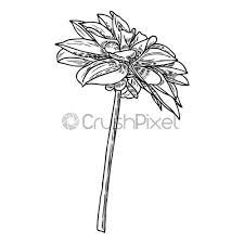 Dahlia Flower Botanical Black And White Ink Vintage Illustration