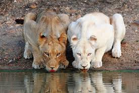 white lioness. Delighful White Lioness And White Drinking At The Waterhole On