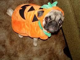 pug in pumpkin costume. Exellent Costume Google Image Result For HttpwwwpicssitecomwpcontentuploadsSadPugs InCostumes34jpg And Pug In Pumpkin Costume G