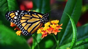 desktop wallpaper butterfly. Contemporary Desktop Monarch Butterfly With Desktop Wallpaper F