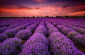 Resultado de imagen de lavender