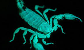 Why Do Scorpions Glow Under Uv Light Why Did Scorpions Evolve To Glow Under Uv Light The Daily