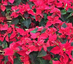 National Poinsettia Day, December 12. Poinsettia Plant Care