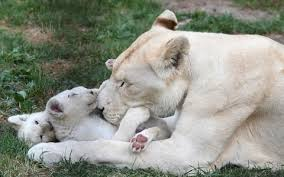 white lioness. Perfect White White Lioness Tia Plays With Her 11 Weeks Old Cubs In Their Enclosure At A  Private To Lioness E