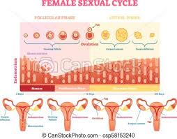 Female Sexual Cycle Vector Illustration Graphic Diagram With Menstruation And Ovulation Chart And Uterus