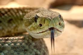 Image result for nice rattlesnake