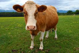 Jersey Calf Weight Chart Cow Description Facts Britannica