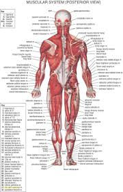 Organs In The Human Body Human Anatomy Female Anatomy Diagram Organs Human Body