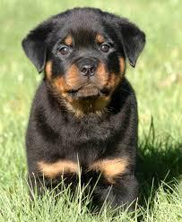 rottweiler dog baby. best 25+ rottweilers ideas on pinterest | rottweiler, rottweiler puppies and baby dog w