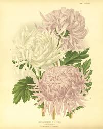 Small Picture Chrysanthemums flower art print botanical prints Vintage prints