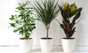 house plants. Groupon Goods Global GmbH: Three Scandi House Plants Mixed Supplied In 12cm (£14.98