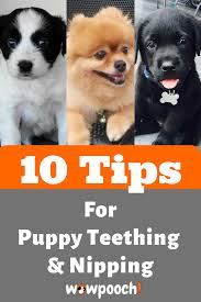Puppy Teething Age Chart Pin On Dogs Teeth Dental Care Tips
