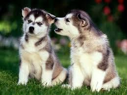 cute siberian husky puppy wallpaper. Contemporary Puppy Cute Puppy Dogs Siberian Husky Puppies With Wallpaper S