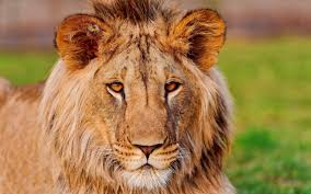 Free Lion Face Images, Download Free ...