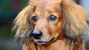 grooming long haired dachshunds the