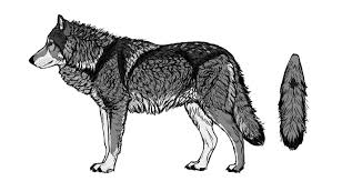 gray wolf drawing colored. Modren Colored Howtodrawwolvesfurcolors To Gray Wolf Drawing Colored L