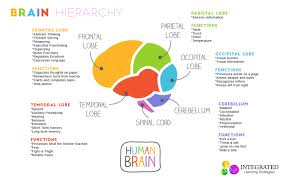 brain hierarchy when your child s lower brain levels are weak they can t