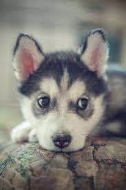 cute baby husky wallpaper. Exellent Husky Find This Pin And More On Dogs Such An Adorable Husky  For Cute Baby Husky Wallpaper