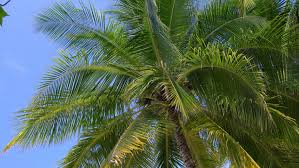 Day Up Angle Tight Large Pineapple Palm Tree Canary Island Date Palm Tree Orange Fruit