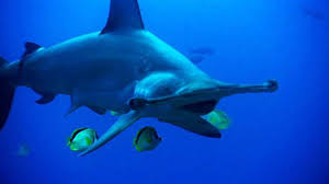 hammerhead shark eating a stingray. Interesting Hammerhead Throughout Hammerhead Shark Eating A Stingray G