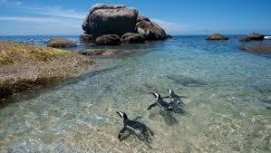 photo essay the penguins of boulders beach afkinsider penguins of boulders beach