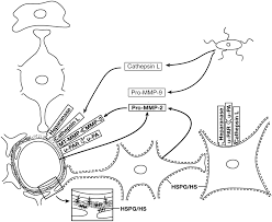 Figure 10 2 a formulation of the basic elements of the neurovascular unit displaying the sources of matrix proteases generated following focal ischemia in