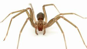 Tennessee Teen Once Bitten Now Scared Of Brown Recluse