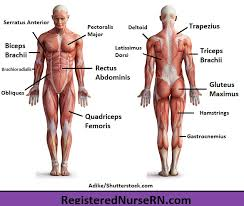The muscular system giant chart 9781587799815 medicine health. Major Muscles Song Anatomy Mnemonics