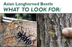 Fighting The Asian Long Horned Beetle