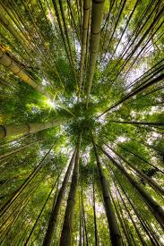 Bamboo Forest Null Interior Natuur Bossen En Groen