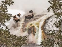 yellowstone bison taking a steam bath beside a geyser in winter