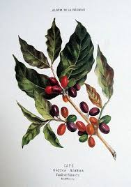 coffee bean plant illustration. Plain Coffee Coffee Bean Plant Caf Coffea Arabica Album De La Runion Antoine Roussin For Bean Plant Illustration S