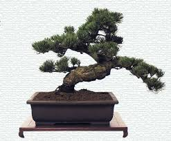 Image Cool Bonsai Interior Office Plants Bonsai Tree For The Office Interior Office Plants