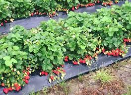 vaughn strawberries 03 jpg