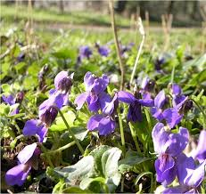 over the weekend of the 8th and 9th march the sun shone and local ratures reached 18c 19c in rushden violets are one of the early spring flowers