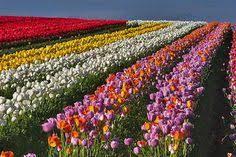 stunning shots of flower farms