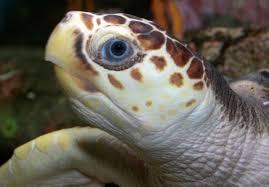 Livorno salvati due esemplari di tartarughe marine www