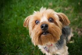 yorkie hairstyles for females unique top 10 por small dog breeds