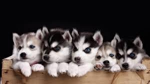 husky puppy wallpaper desktop. Simple Wallpaper Siberian Husky Puppies With Puppy Wallpaper Desktop W