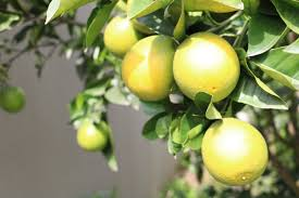 Best Grow Light For Citrus Tree Why Do Lemon Tree Leaves Turn Yellow Home Guides Sf Gate