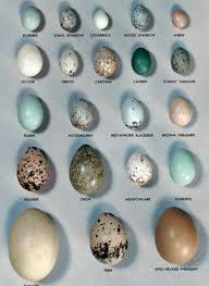 Egg Identification Chart Egg Chart Wild Birds Pet Birds Bird Egg Identification