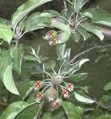 Best 25 Cherry Plant Ideas On Pinterest  Cherry Fruit Tree Buy When Do Cherry Trees Bear Fruit