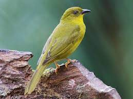Olive-green Tanager - Orthogonys chloricterus - Birds of the World