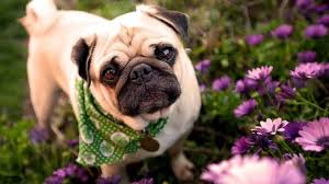 pug wallpaper 1920x1080. Contemporary Wallpaper Puggle Dog Breed Picture Wallpapers Pug  For Wallpaper 1920x1080