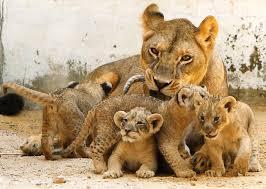 cubs lions photo 38534149 fanpop