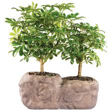 office bonsai. Interesting Office Hawaiian Umbrella In Rock Pot  DT8002ARBR To Office Bonsai