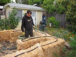 straw bale garden watering the bales